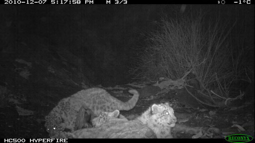 Three snow leopards snapped in a single capture in Khunjerab National Park