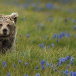Brown Bear Deosai