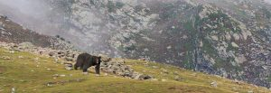 Balochistan Black Bear PC: WWF Pakistan - wwfpak.org