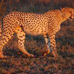 Cheetah - PC: wikipedia.org