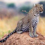 Common Leopard of Pakistan, Credits and © Martin Harvey / WWF